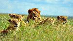 A Pride Of Lions In Serengeti National Park