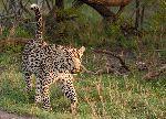 Adult Male Leopard Walking In Grass