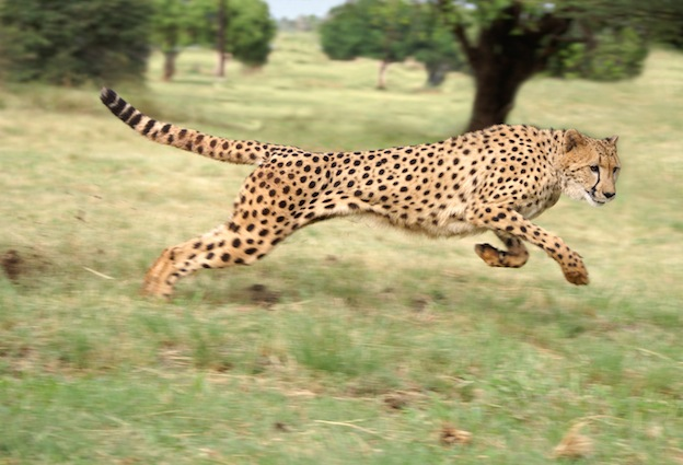 Information about cheetah anatomy
