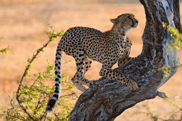 Cheetah body design