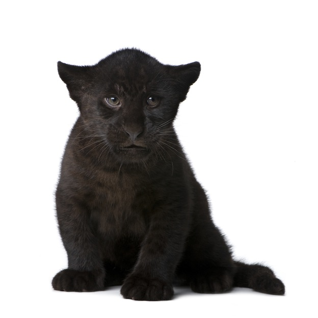 Jaguar physical characteristics