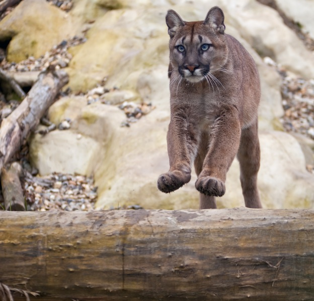 Cougar Jumping Distance Female Cougar Jumping
