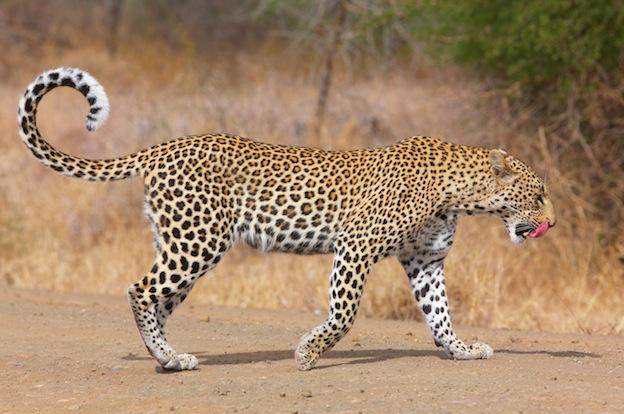 Leopard body design