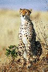Beautiful Adult Cheetah in Kenya