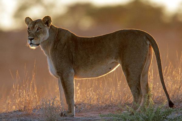 Beautiful Lione...