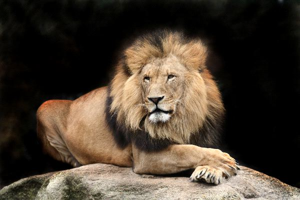 Big Adult Male Lion Feline Facts And Information