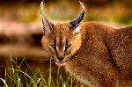 Caracal With Intriguing Look