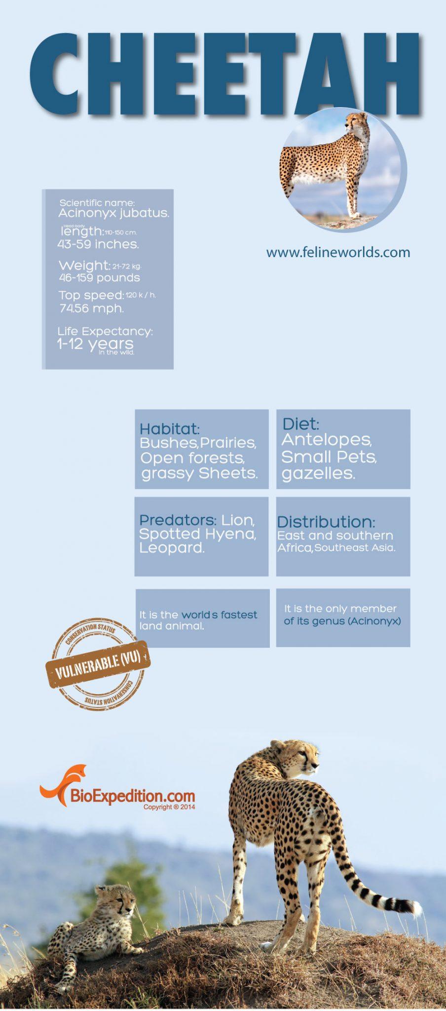 Cheetah_infographic