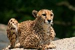 Cheetah Aware and Ready