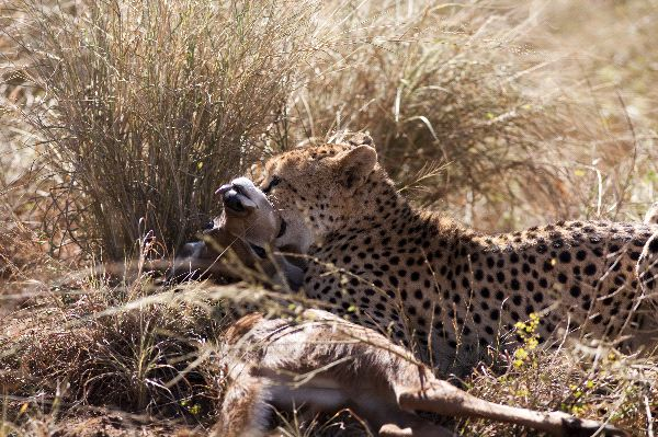 Cheetah Holding Its Prey By The Throat
