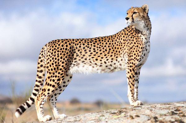 guepardo_mirando_a_su_alrededor_600_foto