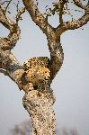 Cheetah Ready to Jump from Tree