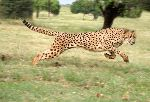 Cheetah The Fastest Land Animal In The World