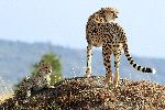 Cheetah With Cub In Maasai Mara National Reserve