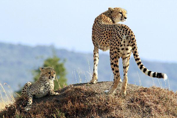 Cheetah With Cub In Maasai Mara National Reserve
