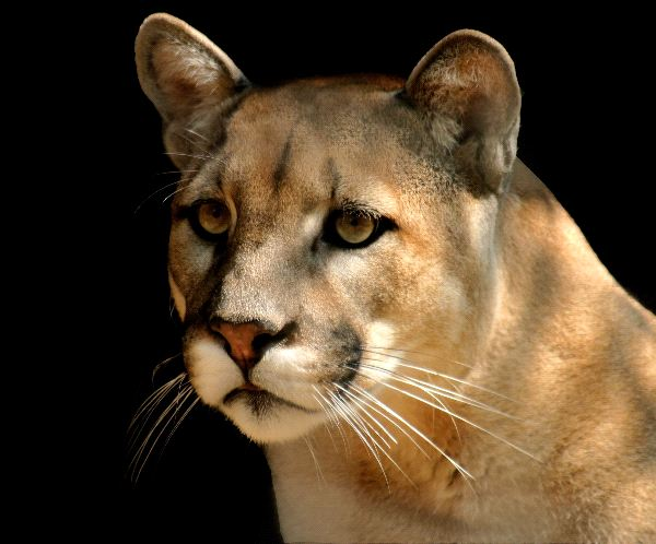 Cougar Also Known as Puma Or Mountain Lion