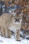 Cougar In A Light Snowfall Minnesota