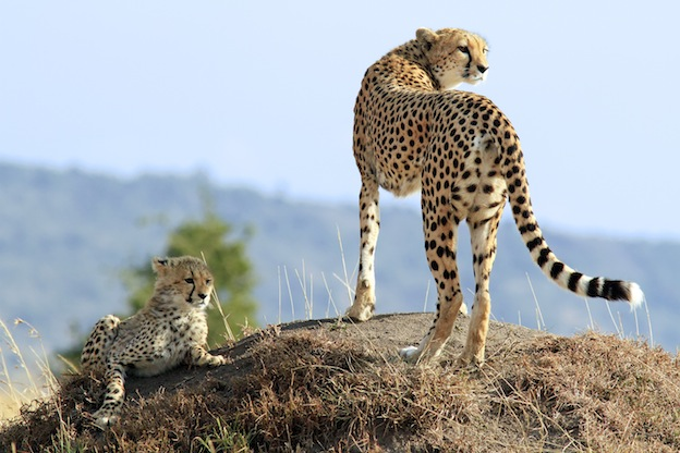 Cheetah Breeding