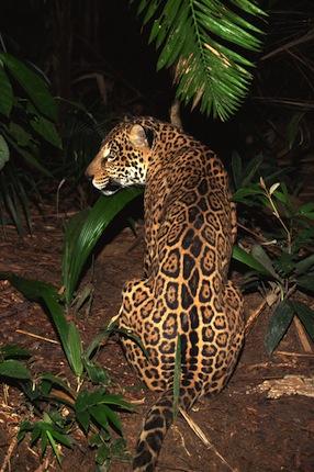 Datos curiosos sobre el jaguar