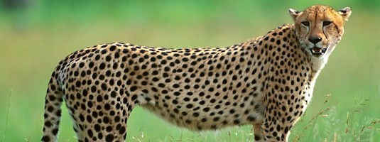 Cheetah Facts