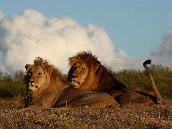 Father And Son Lions Together At Sunset