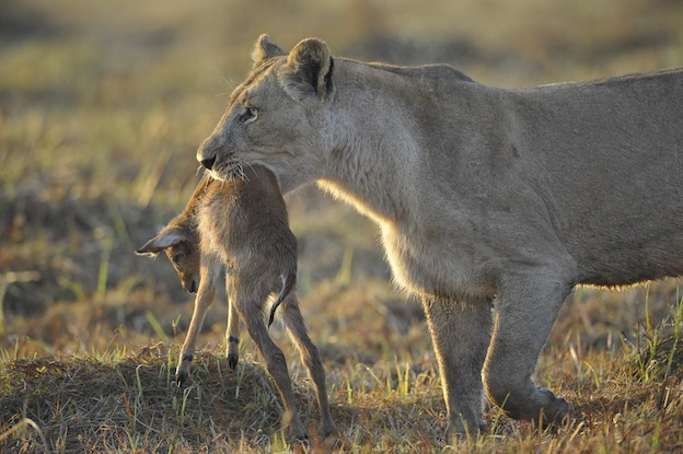 Image result for young lions and prey