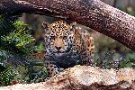Jaguar Ready To Pounce