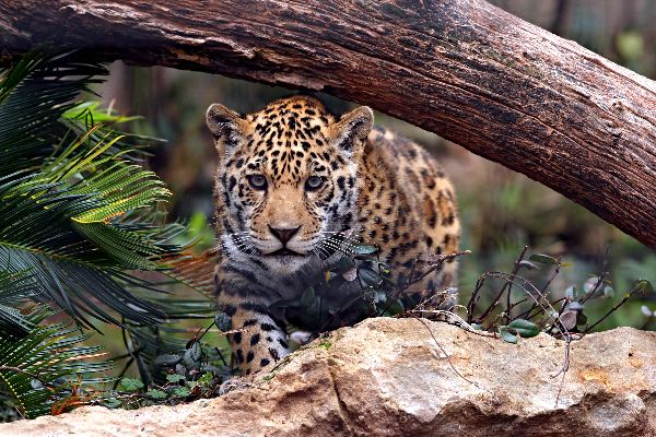 Jaguar_listo_para_saltar_600_foto
