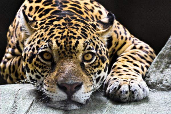 Jaguar Resting Close-Up