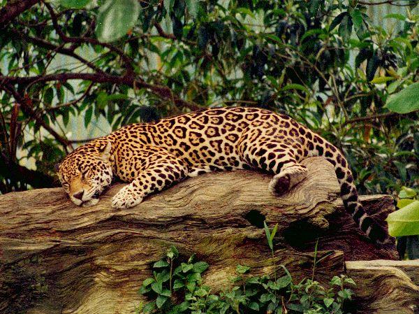 Jaguars Thinglink