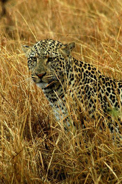 Leopard Hidden In The Tall Grass