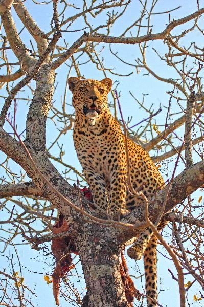 Leopardo_en_un_árbol_con_su_presa_600_imagen