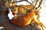 Leopard In A Tree With Prey