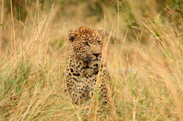 Leopard In Sabi Sand Reserve South Africa