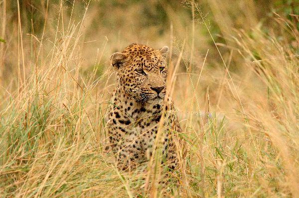 Leopardo_en_sabi_sand_Sudáfrica_600_foto