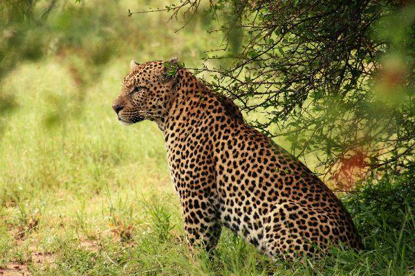 Leopardo_en_estado_natural_600_foto