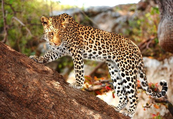 Leopard Standing Alert On The Tree