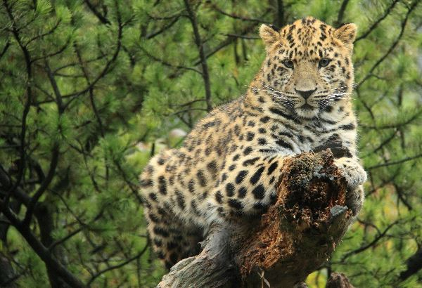 Leopard Watching From A Log
