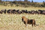 Lion And Wildebeest Herd In Kenya