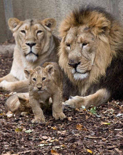 Lion family feline facts and information