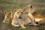 Lion Family Aware of The Camera
