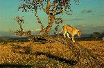 Lioness Descending From a Tree