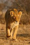 Lioness Walking South Africa