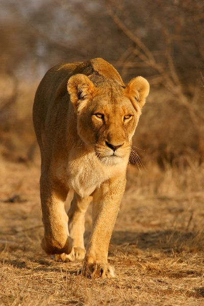 Lioness Walking South Africa | Feline Facts and Information