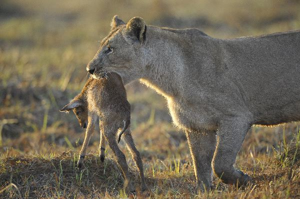 Lioness With Antelope Prey