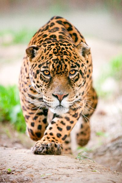 Male Jaguar Preparing To Attack