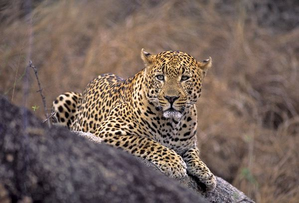 Male Leopard In South Africa