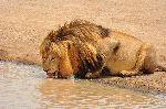 Male Lion Drinking Water