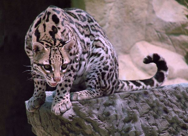 Ocelot Aware of Danger