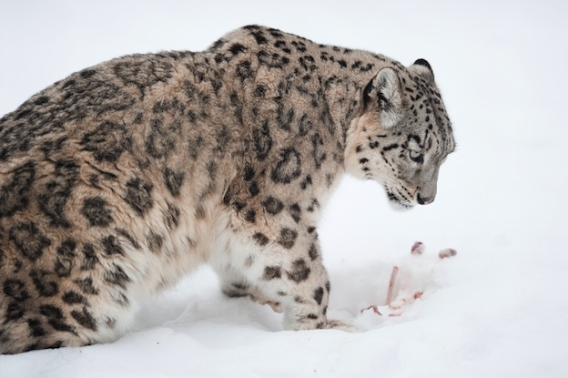 Snow leopard, an endangered species